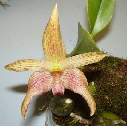 Bulbophyllum Jan Ragan